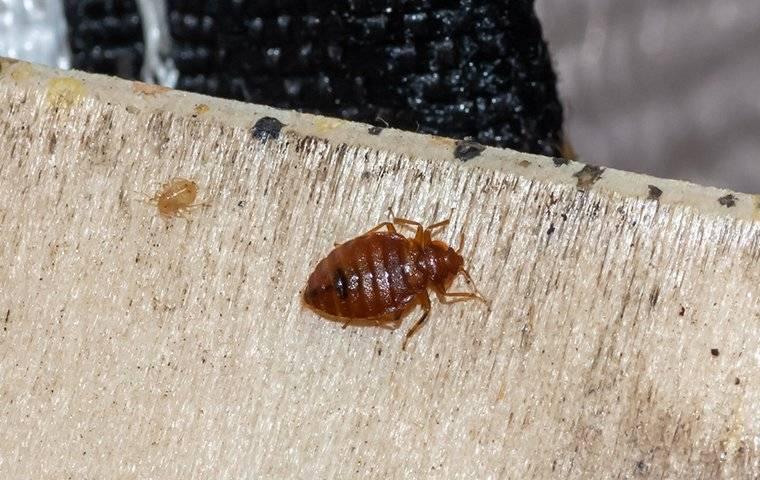 bed bug crawling on box spring