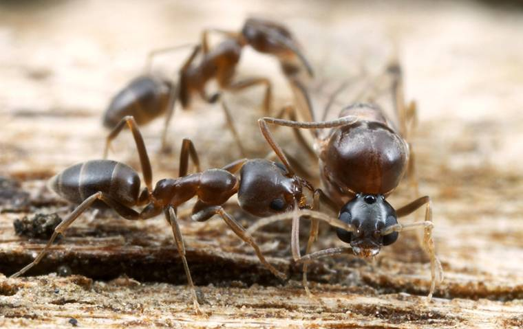 a few argentine ants crawling around