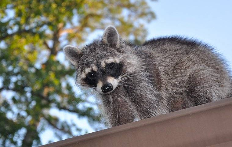raccoon wildlife pest