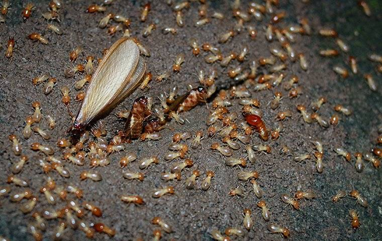 a termite colony in a house