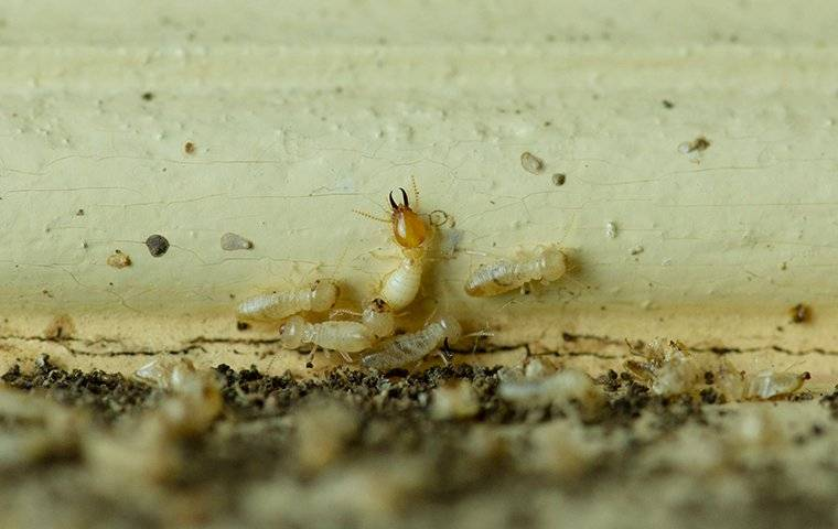 termites crawling on damaged wood