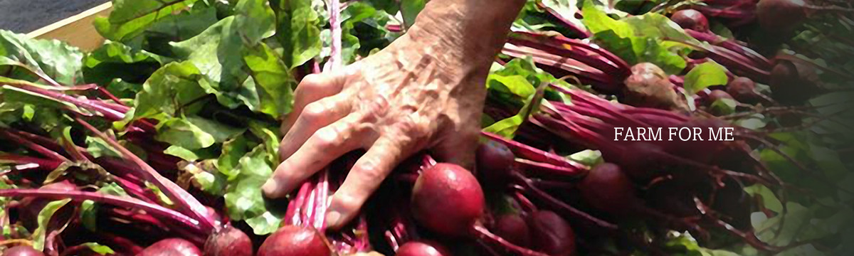 A farmer handles a container of beets. We distribute fresh greens and vegetables to food pantries in northern Maine.