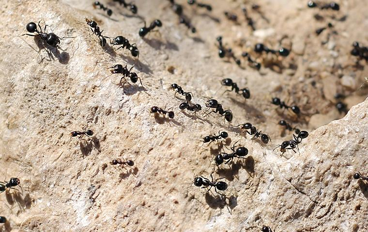 little black ants crawling around on a rock