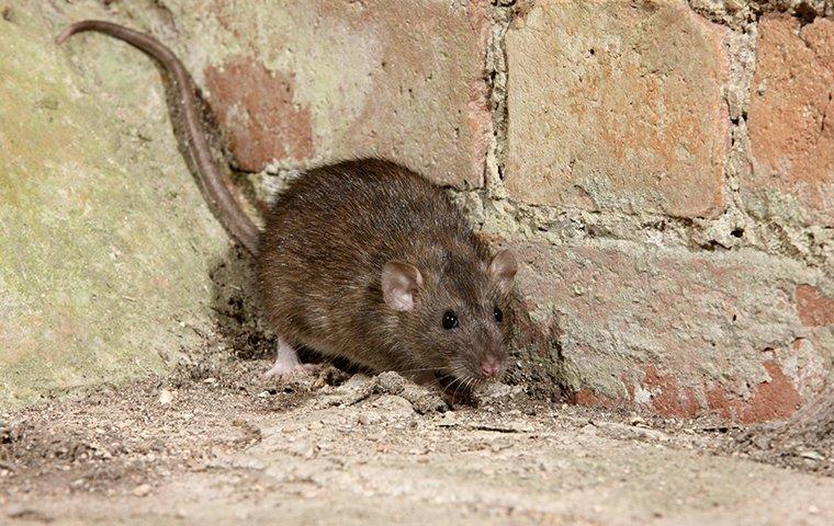a norway rat backed against wall in basement