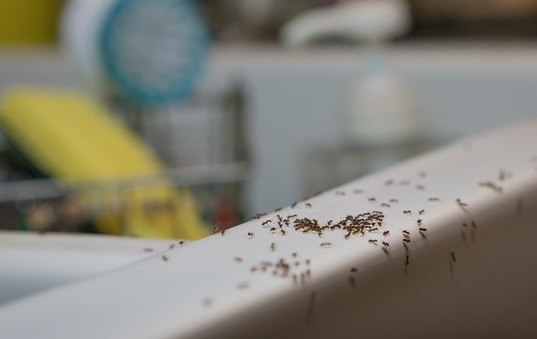 ants on the sink in a kitchen