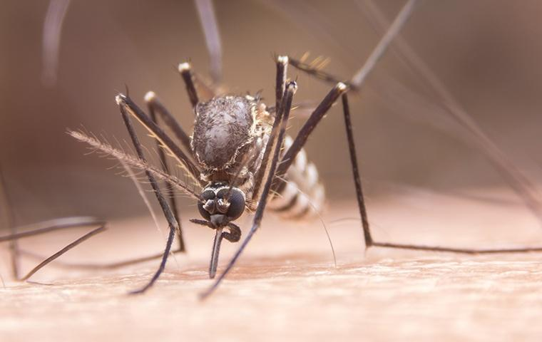 a yellow fever mosquito biting a mans hand in search of blood
