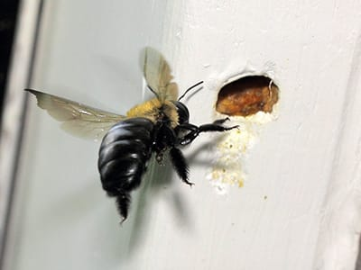 Carpenter Bee-Xylocopa virginica hole in shed
