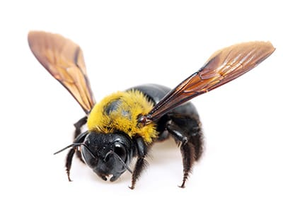 Carpenter Bee - Xylocopa virginica on white