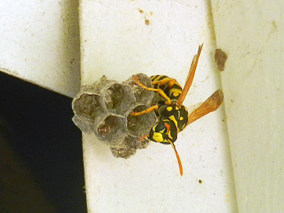 European Paper Wasp - Polistes dominula nest under overhang