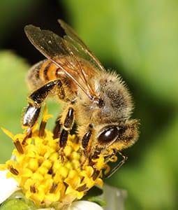 Honey Bee - Apis mellifera on yellow flower