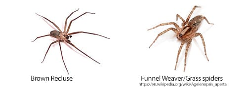 comparison of brown recluse and grass spider