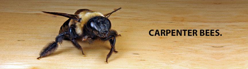 Bees (Carpenter)