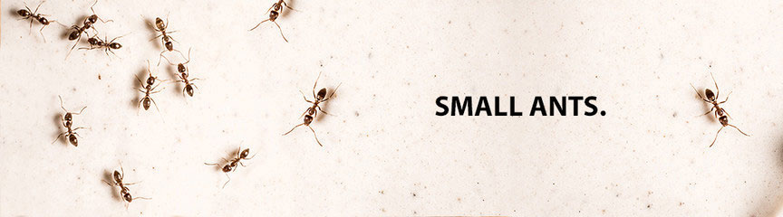 Ants (Small)
