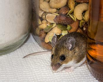mouse in pantry around jars