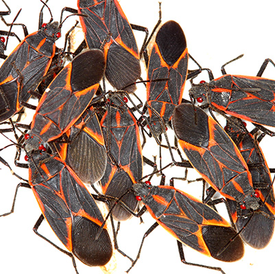 group of box elder bugs