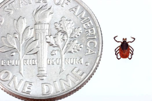 photo of size of deer tick next in comparison to dime