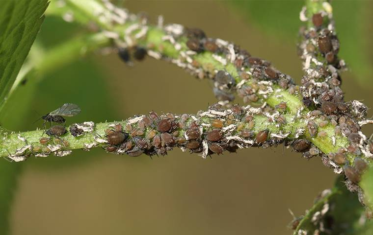 an aphid infestation on a plant