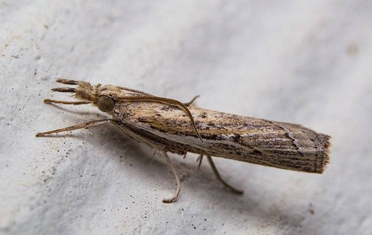 a sod webworm lawn moth