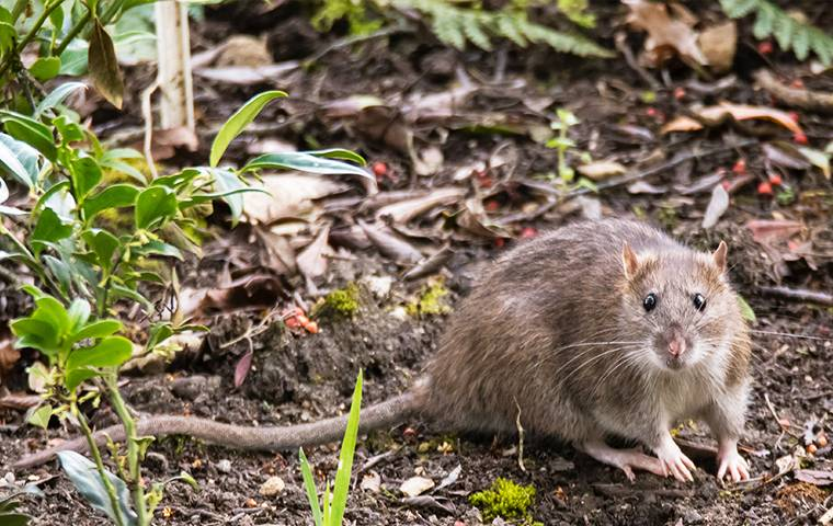 a norway rat outside home