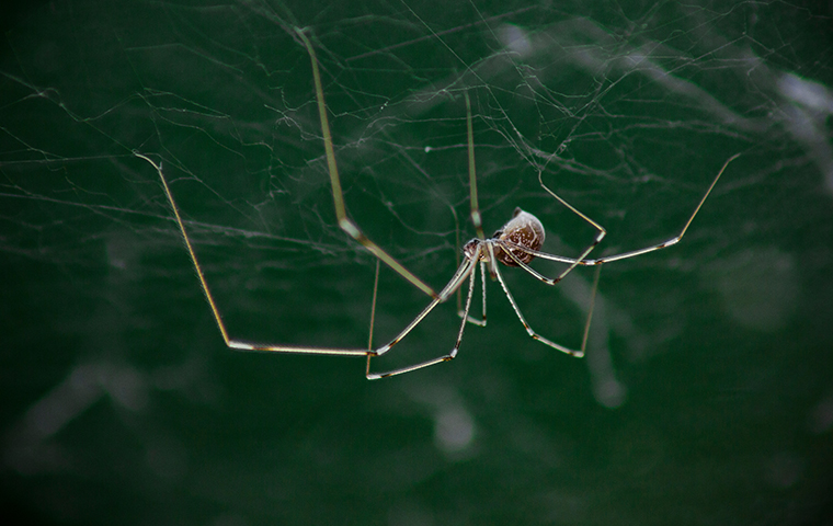daddy long leg hanging from a web