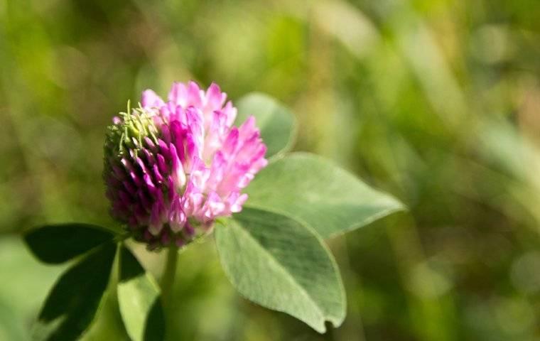 clover up close