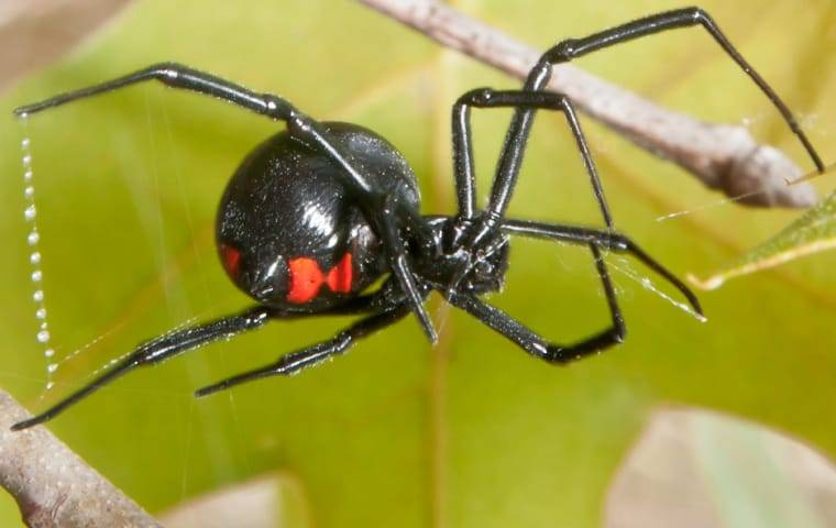 a black widow spider on a web outside home