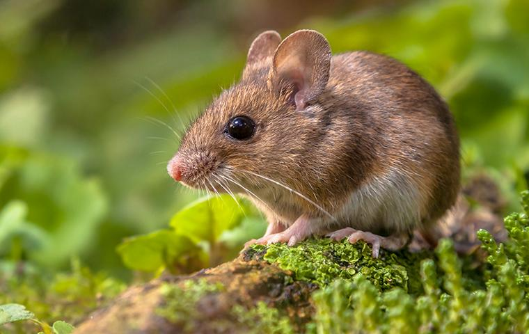 mouse on the forest floor