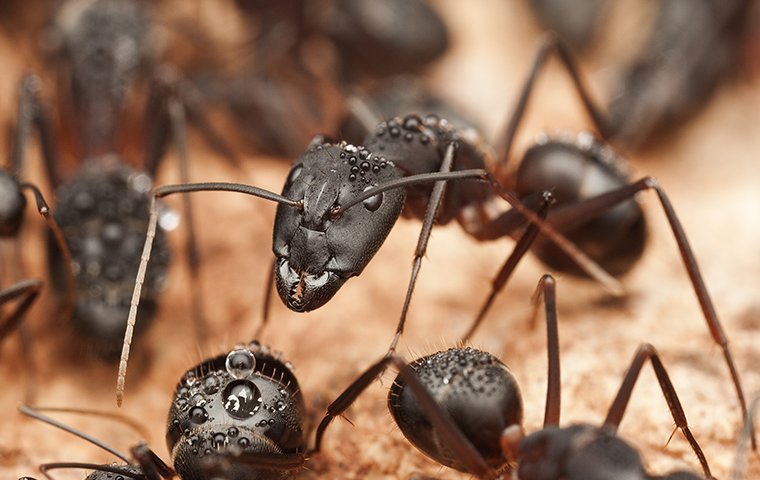 group of black ants