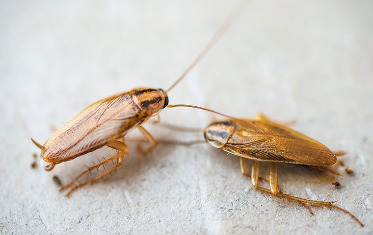 two cockroaches crawling on the kitchen floor