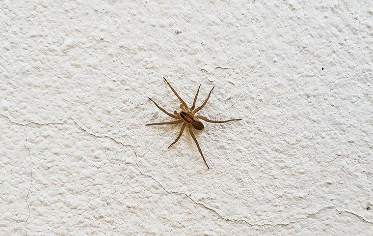 common house spider on a wall