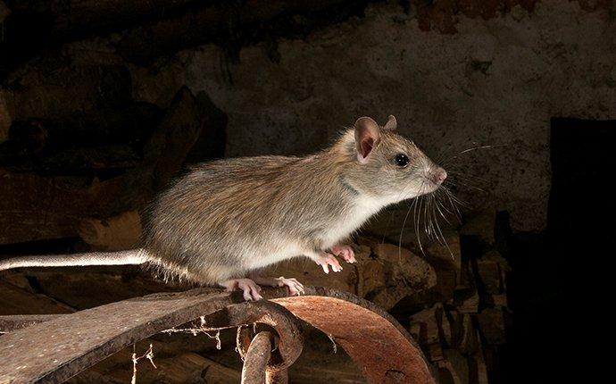 a roof rat in a garage
