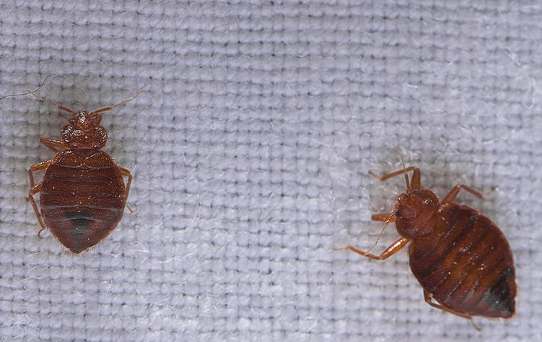 bedbugs on a matress