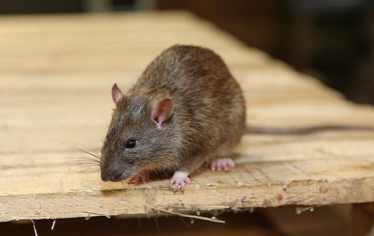 a rat resting on wood