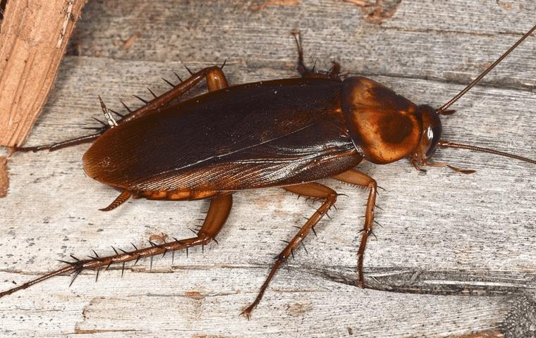 close up a cockroach