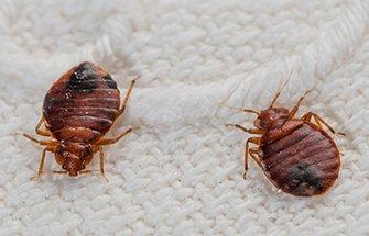 two bed bugs crawling on bedsheets inside of a bedroom