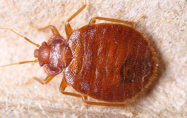 a brown bed bug inside a home