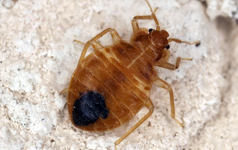 a brown bed bug with a black spot