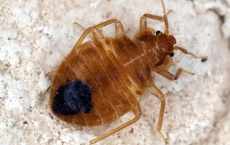 a bed bug infestation with one crawling on a mattress