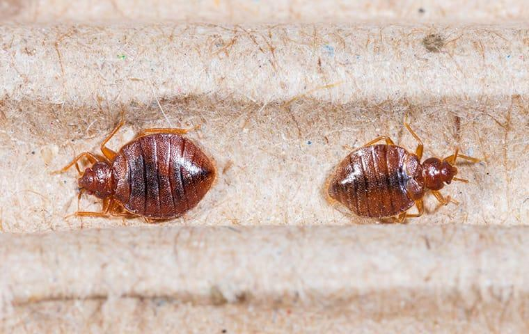 two bed bugs on fabric