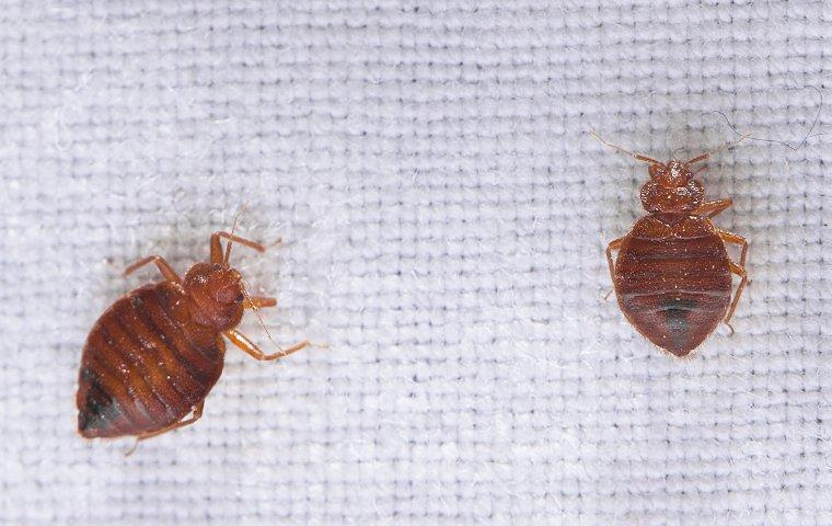 a cluster of bed bugs crawling on sheets