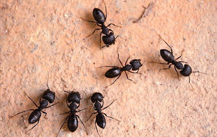 group of carpenter ants around home