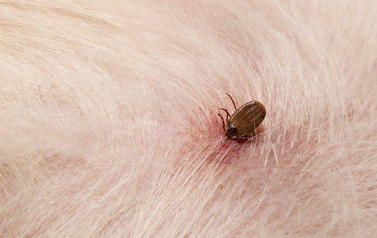 dog tick biting someones pet dog