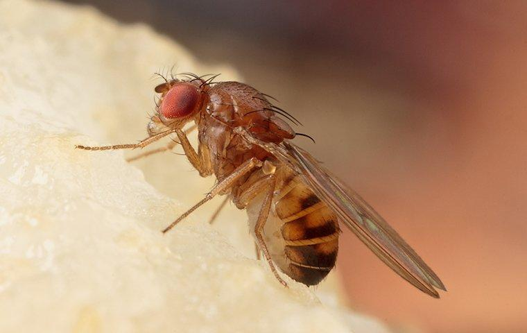 fruit fly on piece of fruit in kitchen