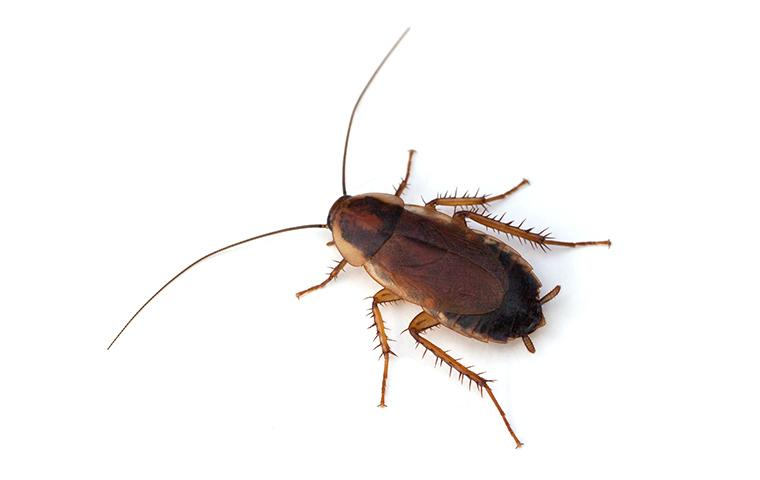 pennsylvania wood cockroach on white background
