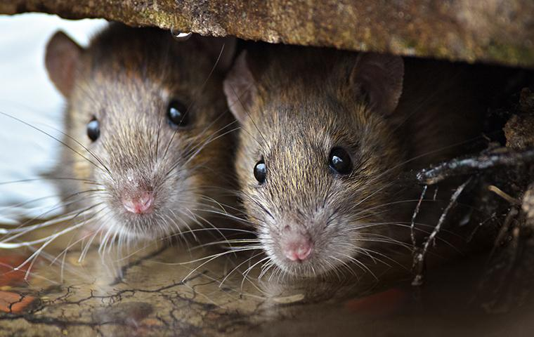 two brown rats peeking out