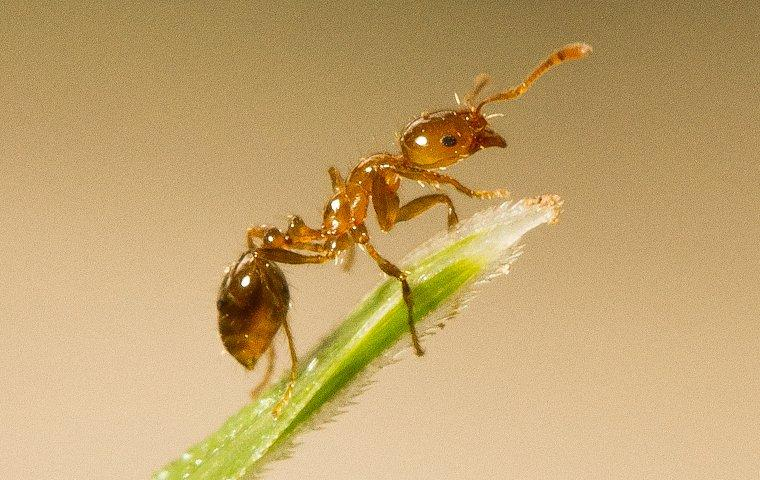 fire ant crawling on a blade of grass