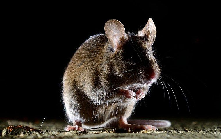 a house mouse in a home at night