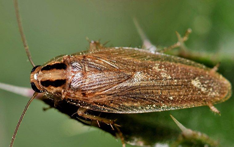 german cockroach on house plant