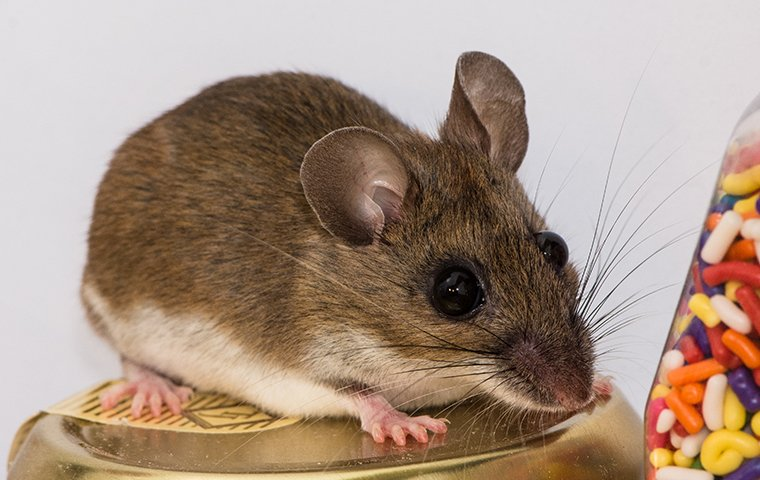 house mouse looking for food