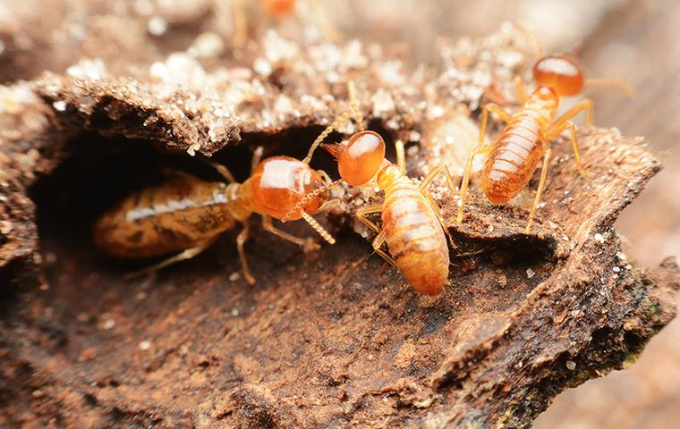 termite in wood